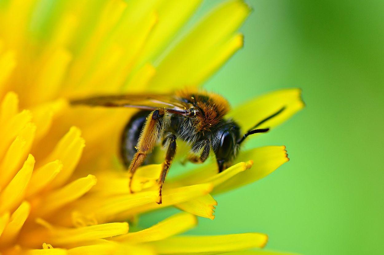 Afbeelding van Bijensterfte: hoe groot is dat probleem?